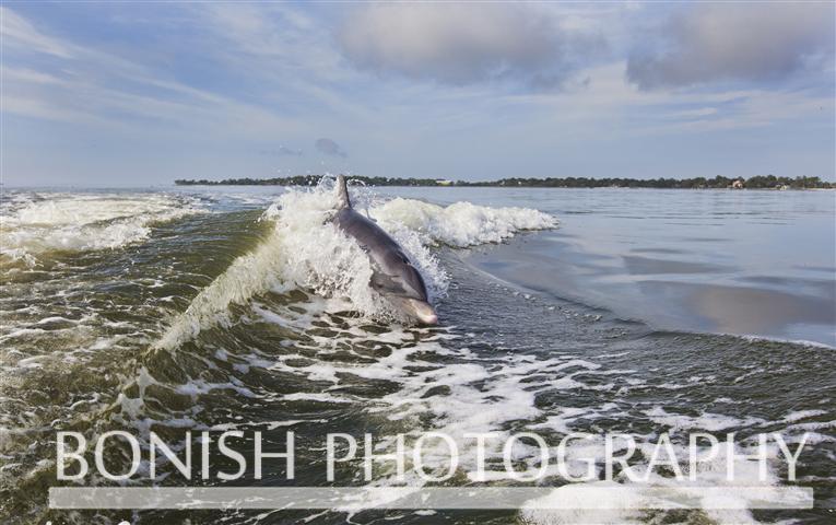 Dolphin_Cedar_Key (2)
