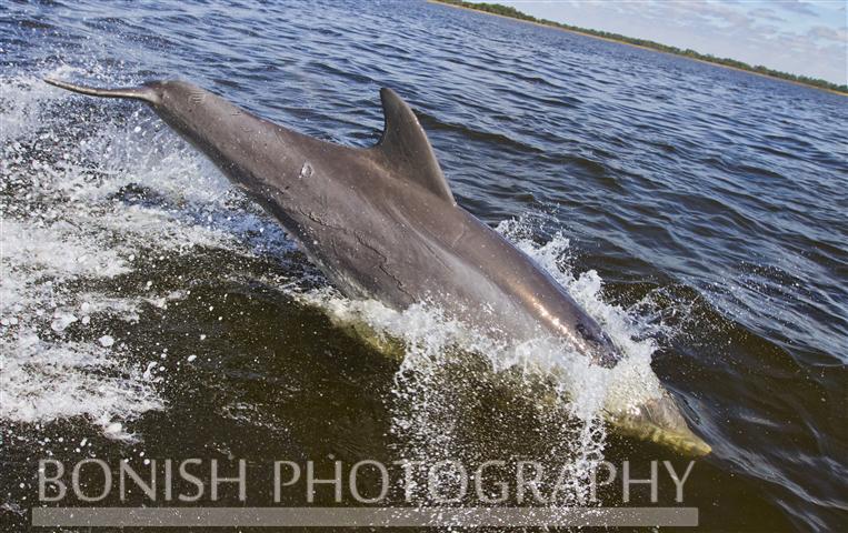 Dolphin_Cedar_Key