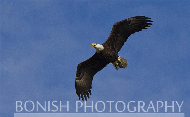 Bald Eagle, Flying,