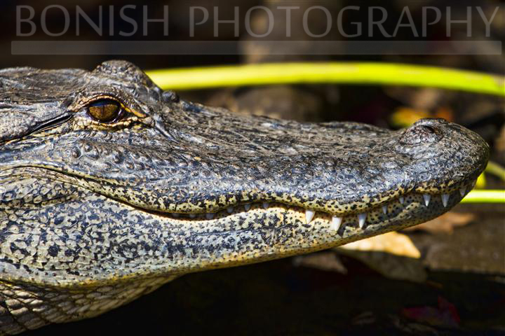 Florida_Alligator (1)