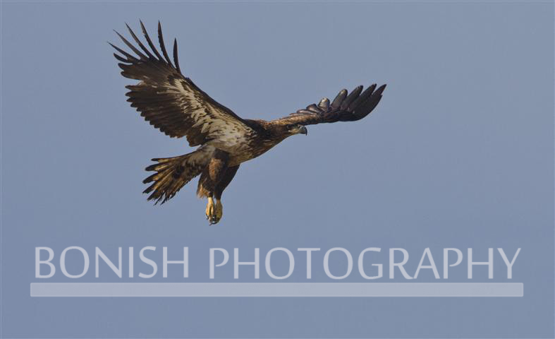 Immature_Bald_Eagle