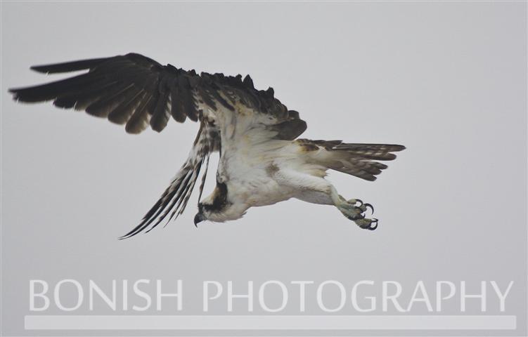 Osprey_Fly_Over