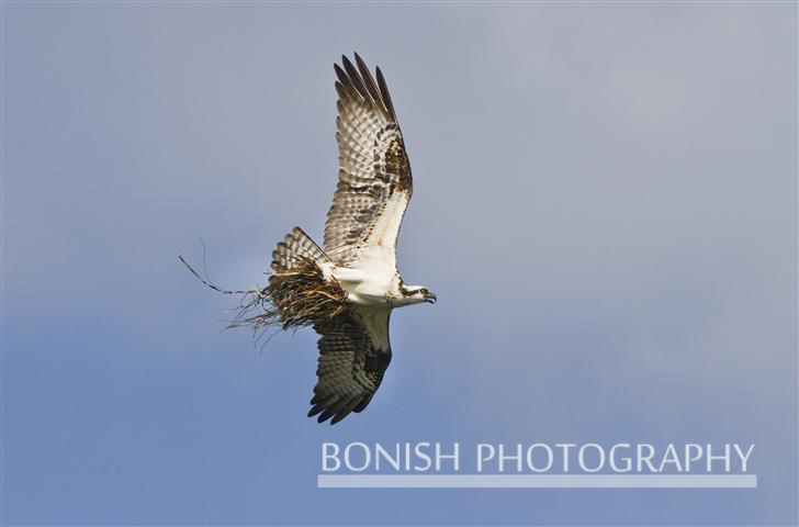 Osprey_With_Nesting_Material (1)
