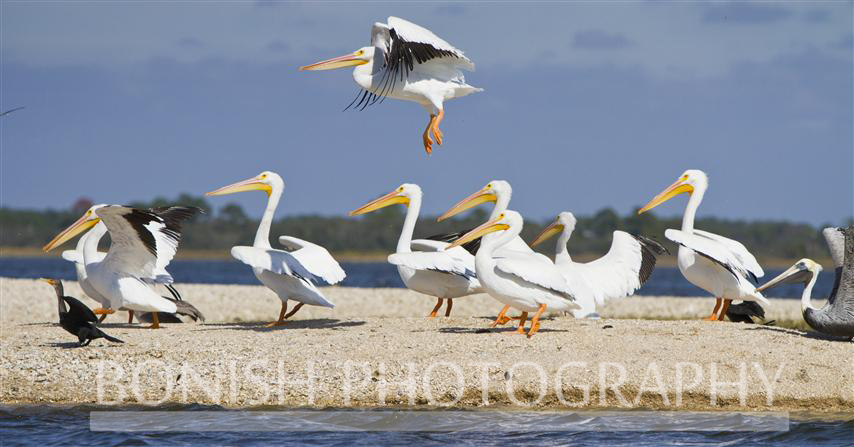 White_Pelican_Taking_To_Flight