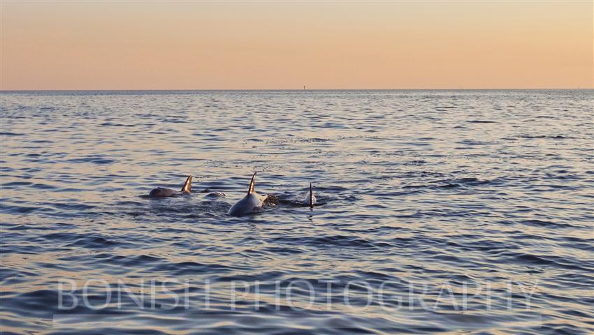 Dolphin_Trio