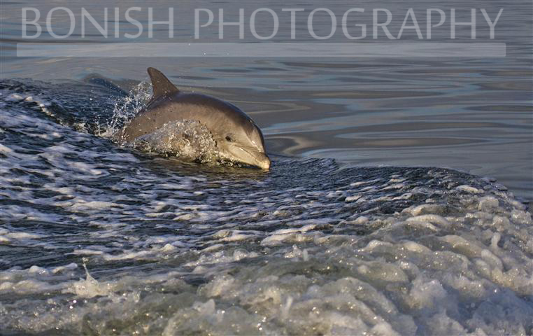 Dolphin_In_Wake
