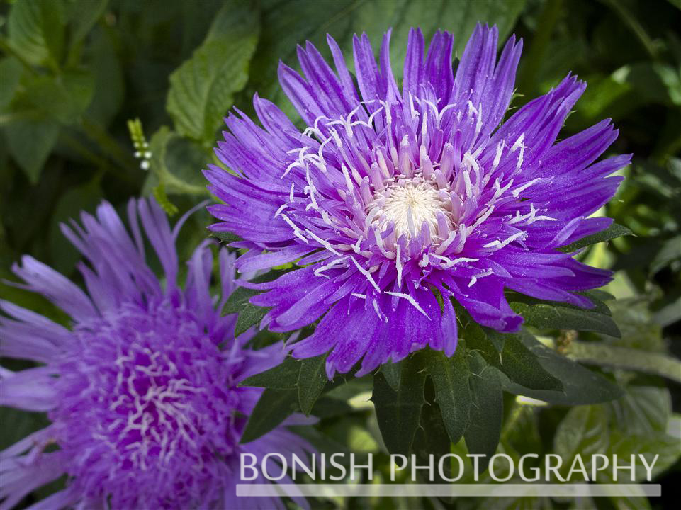 Stokes_Aster_Bloom