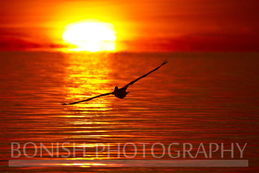 Sunrise_Pelican
