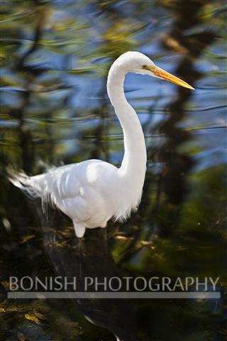 White_Egret