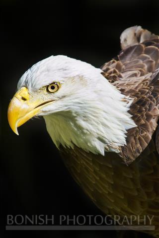 Curious Bald Eagle