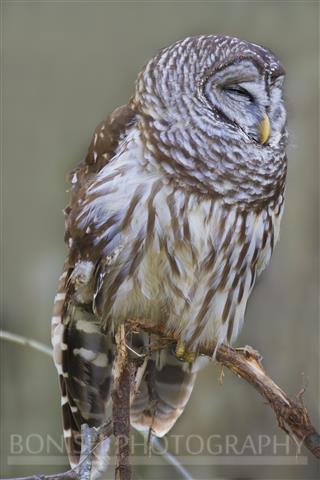 Sleeping Barred Owl