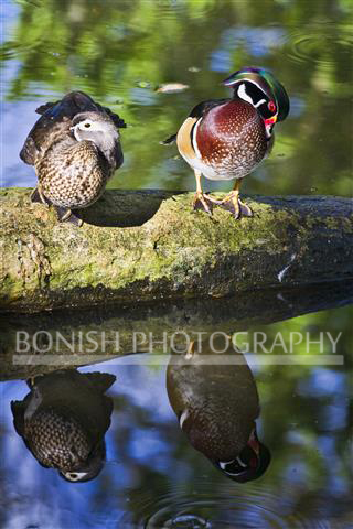 Pair of Wood Ducks. I love these birds and their beautiful colors