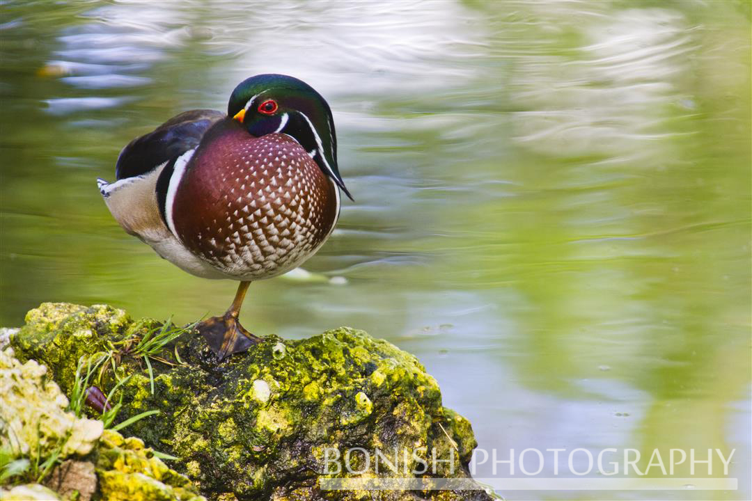 Lone Wood Duck trying to nap