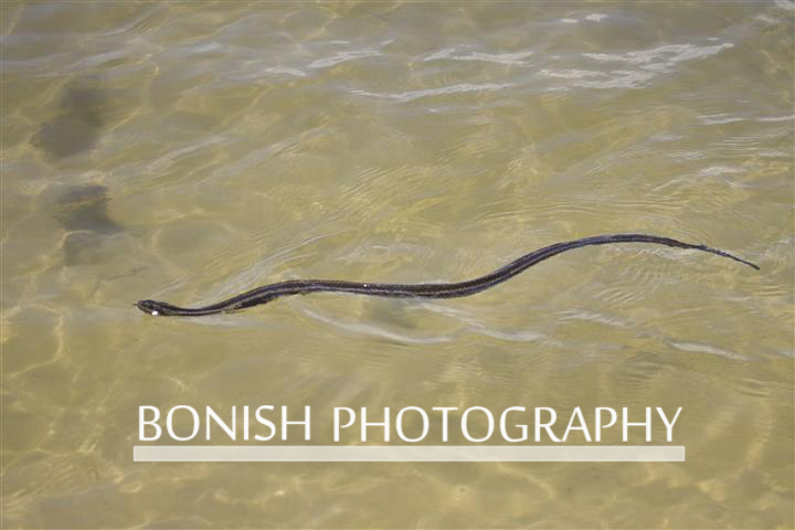 Common_Water_Snake