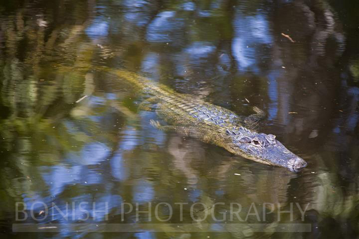 Alligator_Homosassa_River