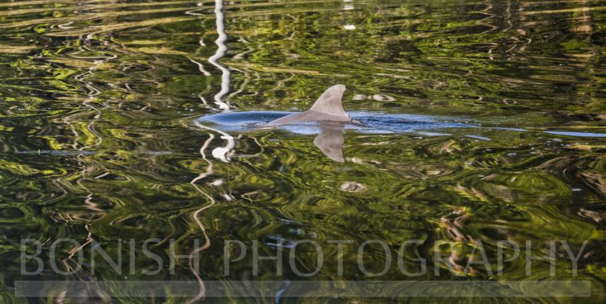Dolphin_Reflections
