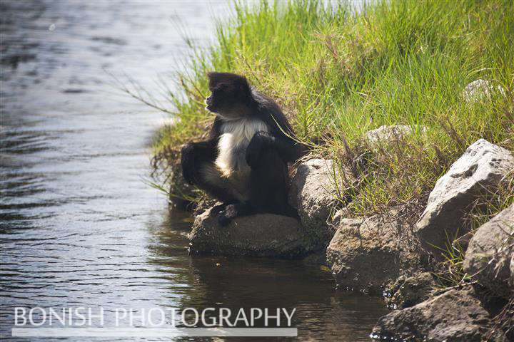 Spider_Monkey_Homosassa_River
