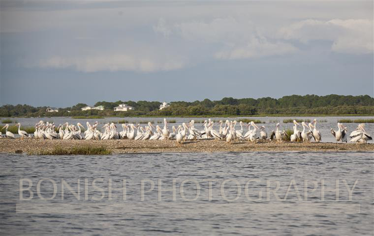 White_Pelicans_Cedar_Key