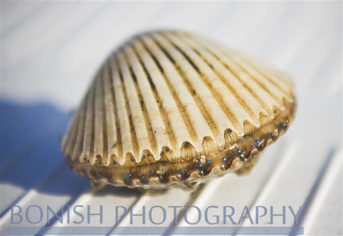 Bay_Scallop