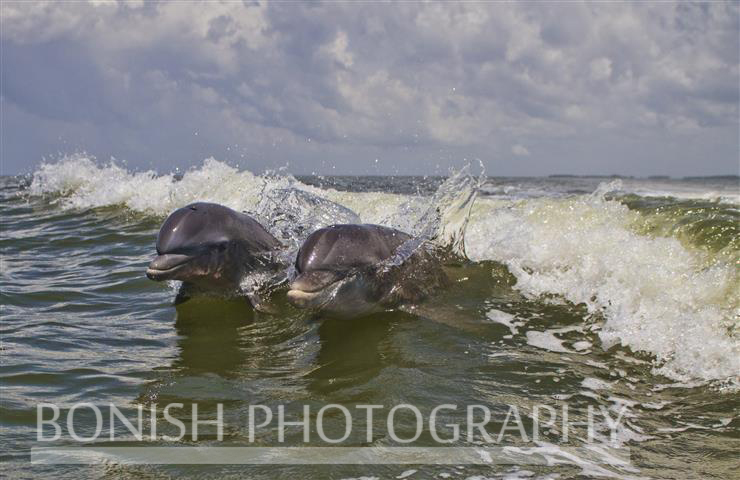 Pair_Of_Dolphin