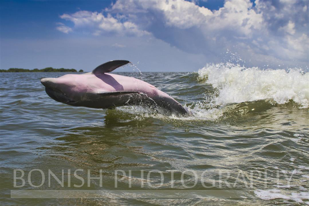 Pink_Belly_Dolphin