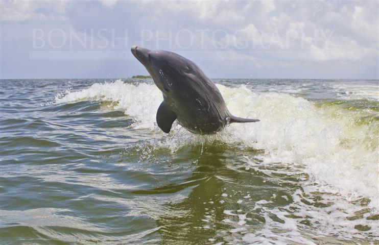 Sideways_Dolphin