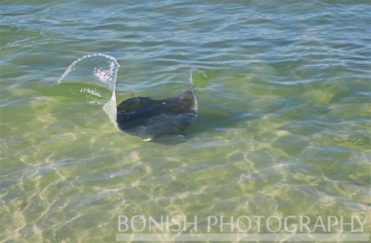 Bonish Photography, Manta Ray, Swimming, Ocean