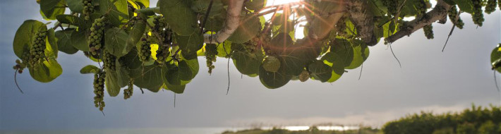 Bonish Photography, Sea Grape, Sun Set,