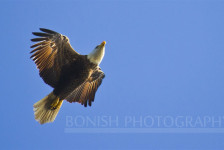 Bonish Photography, Bald Eagle, Bird in Flight, Cedar Key