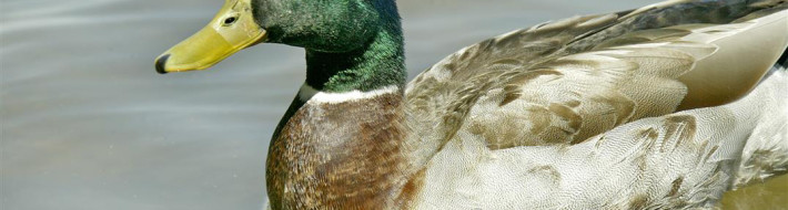 Duck, Mallard, Female