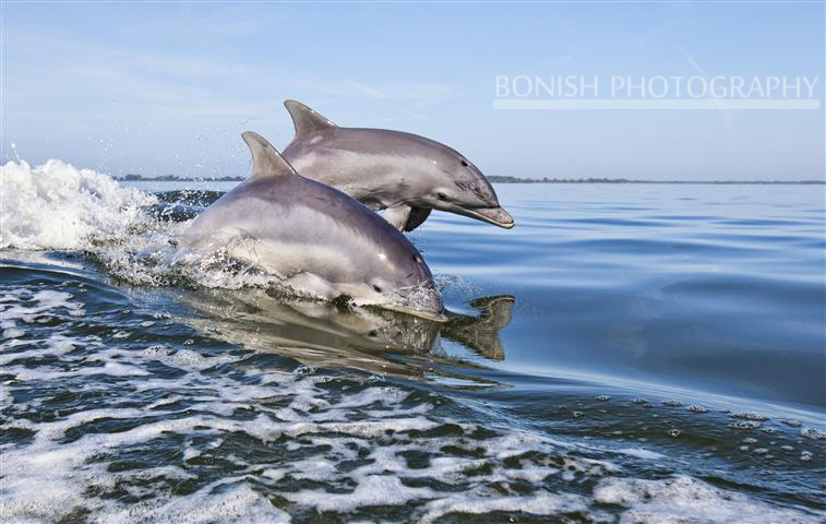 Dolphin, Gulf of Mexico, Cedar Key, Bonish Photogaphy