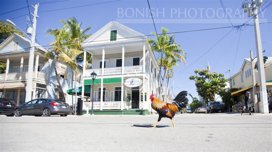 Rooster on Duval Street, Key West, Bonish Photography