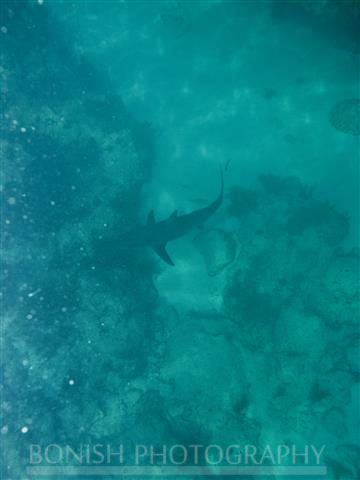 Black Tip Shark, underwater Photography, Bonish Photography