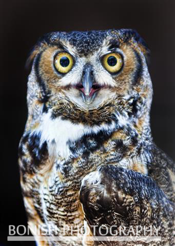 Great Horned Owl, Bird, Bonish Photography, Pat Bonish