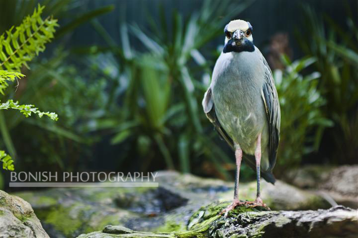 Night Heron, Bonish Photography, Pat Bonish, Bird