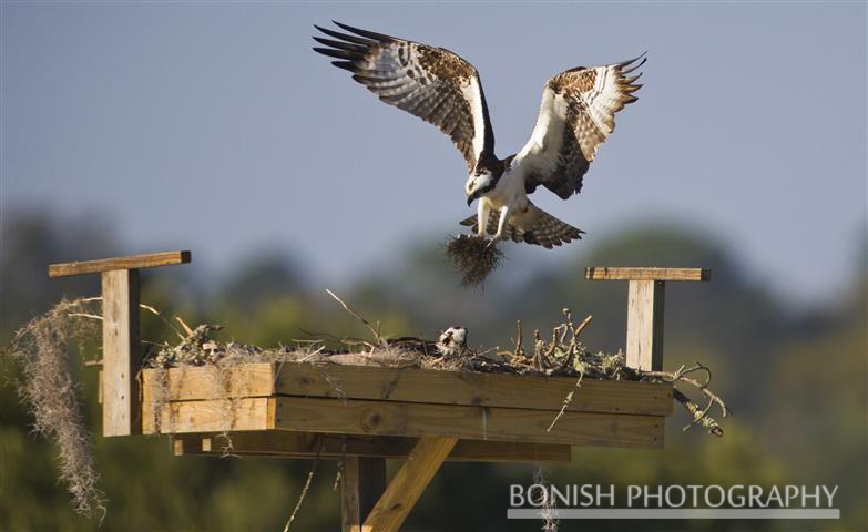 Nesting Box, Osprey, Bonish Photography, Pat Bonish, Cedar Key