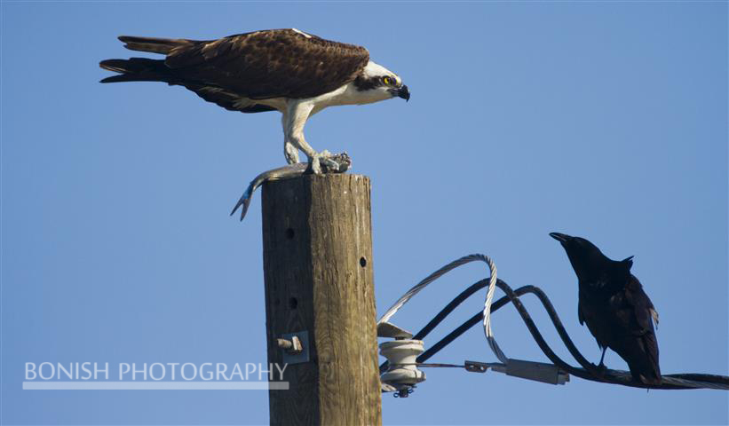 Osprey, Crow, Birds, Cedar Key, Bonish Photography, Pat Bonish