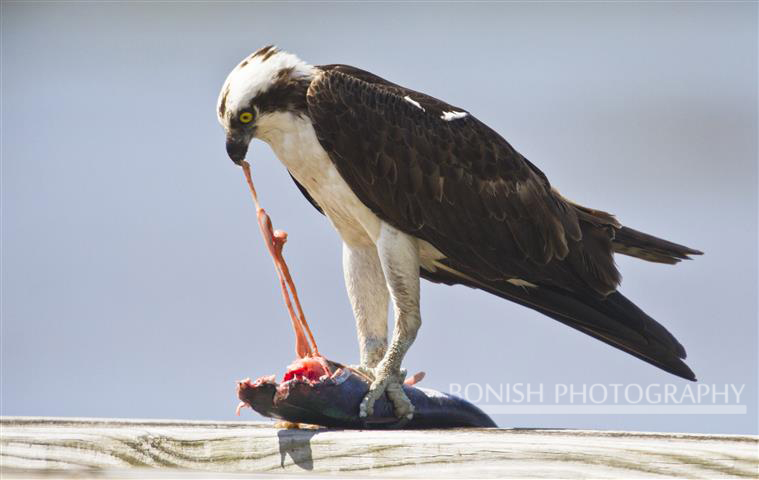 Osprey Eating, Fish, Bird, Bonish Photography, Pat Bonish, Cedar Key