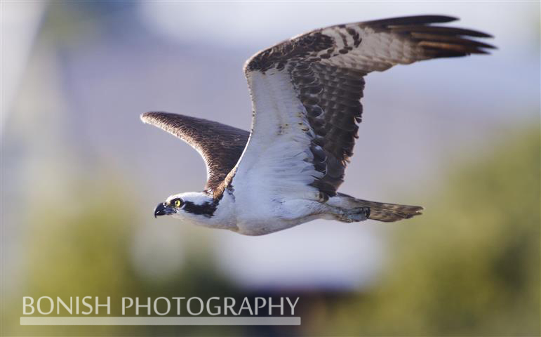 Osprey, Bird in Flight, Bonish photography, Pat Bonish, Cedar Key
