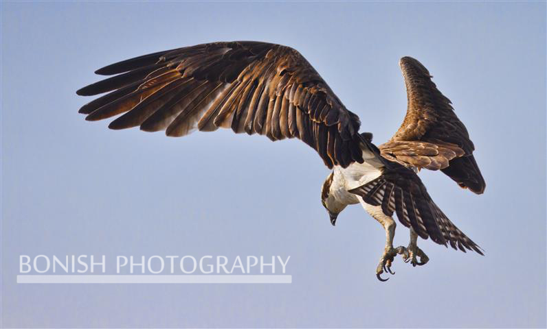 Osprey, Hovering, Bonish Photography, Pat Bonish, Bird in Flight, Cedar Key
