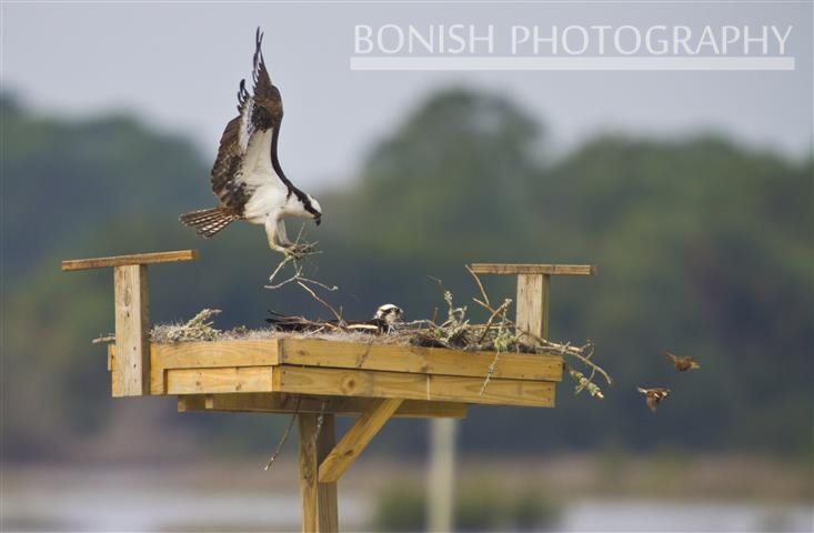 Osprey, Nesting Box, Bonish Photography, Pat Bonish