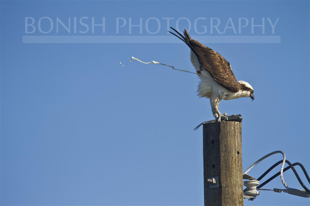Osprey Pooping, Bird, Pat Bonish, Bonish Photography, Cedar Key