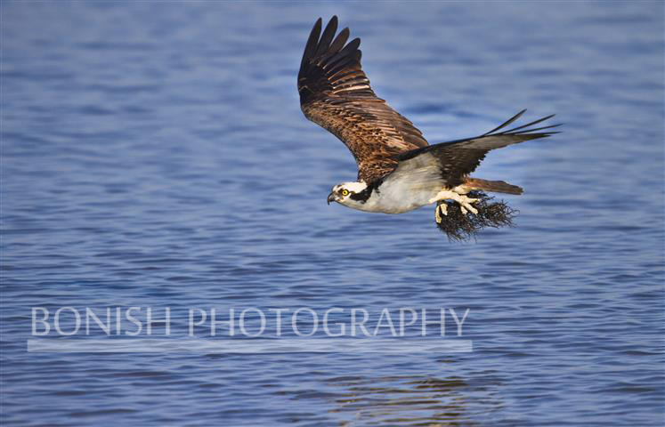 Osprey, Bonish Photography, Pat Bonish, Bird in Flight