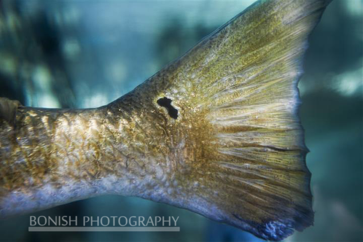 Red Fish, Red Fish Tail, Underwater Photography, Pat Bonish Photography, Cedar Key