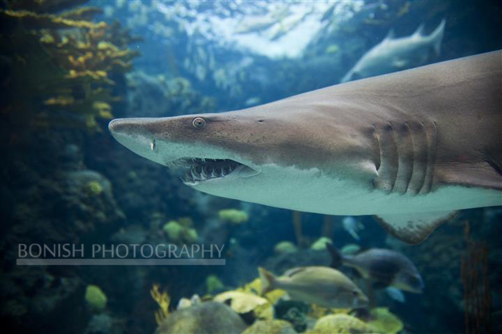 Sand Shark, Tamp Aquarium, Bonish Photography, Pat Bonish, Underwater Photography
