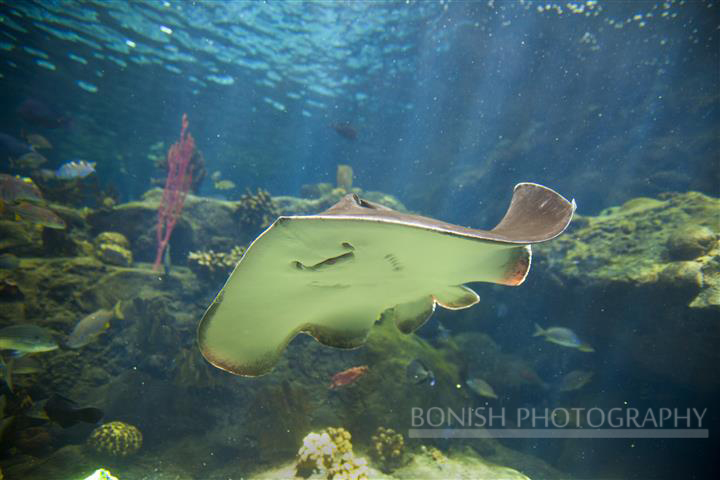 Sting Ray, Aquarium, Underwater Photography, Bonish Photography, Pat Bonish,
