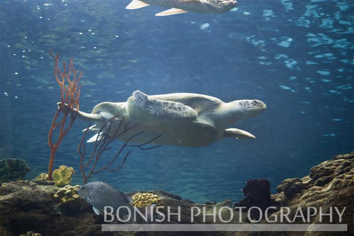 Underwater Photography, Sea Turtle, Tampa Aquarium, Bonish Photography, Pat Bonish