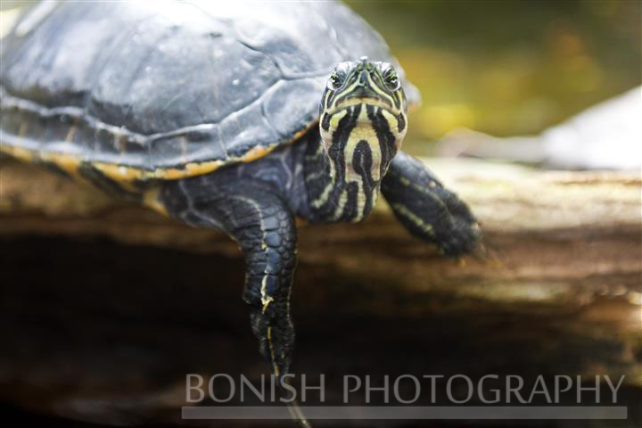 Turtle, Yellow Bellied Slider, Bonish Photography, Pat Bonish