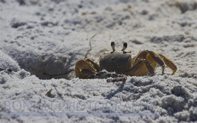 Crab, Beach, Wildlife, Bonish Photography