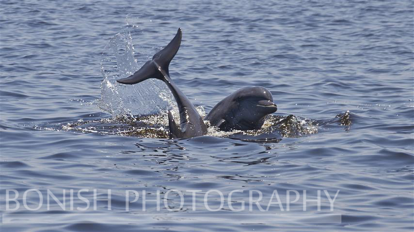 Dolphin, Bottle Nosed Dolphin, Bonish Photography, Cedar Key